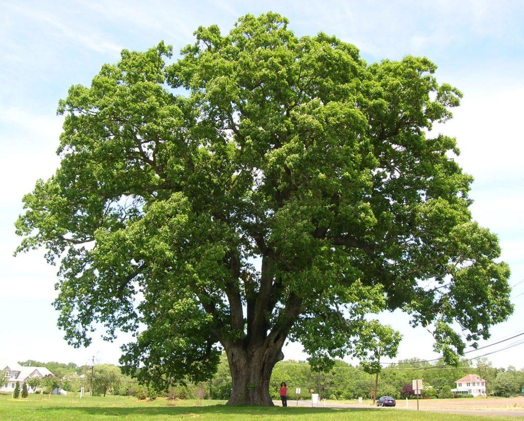 Oak Tree 1024x823 - Introduction to Wood Species: Oak